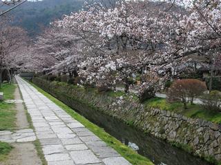 002哲学の道 桜.jpeg