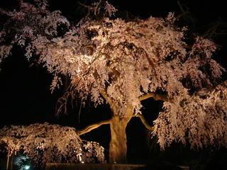 円山公園 枝垂桜 夜1.jpeg